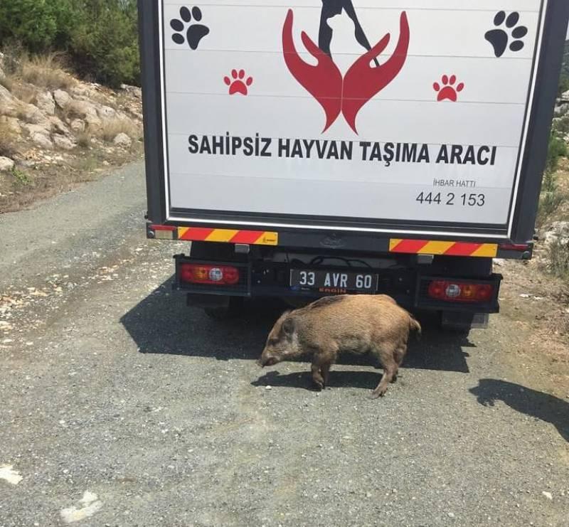 Yaralı Domuzu Belediye Kurtardı